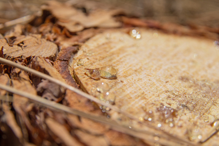 rosin: transparent resin drops on a  cut surface of Canary Islands Pine tree