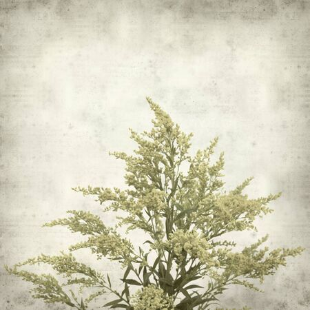 goldenrod: textured old paper background with Solidago, goldenrod plant Stock Photo
