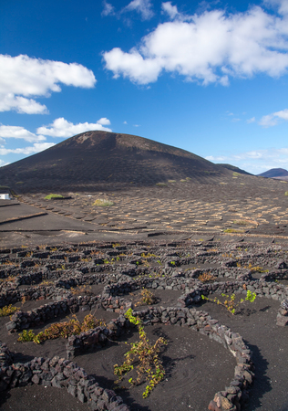 grape vines: La Geria, Lanzarote, Canary Islands, vines are growing in black volcanic ash compartments; dew capturing