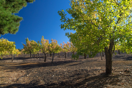 plum island: Gran Canaria, autumnal fruit garden in Las Cumbres, highest ares of the island, miniature plum trees in bright foliage grow in volcanic ash