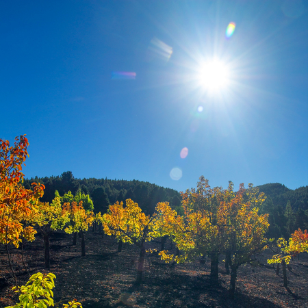 plum island: Gran Canaria, autumnal fruit garden in Las Cumbres, highest ares of the island, miniature plum trees in bright foliage grow in volcanic ash