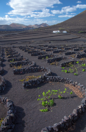 capturing: La Geria, Lanzarote, Canary Islands, vines are groung in black volcanic ash compartments; dew capturing Stock Photo