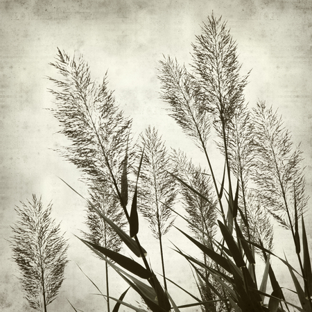 phragmites: textured old paper background with reeds