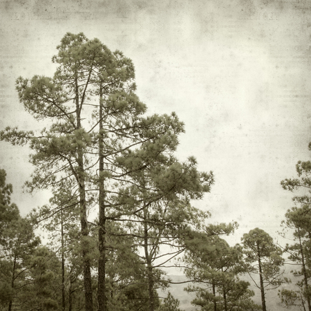 canarian: textured old paper background with canarian pine tree