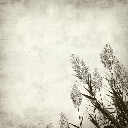 common reed: textured old paper background with reeds