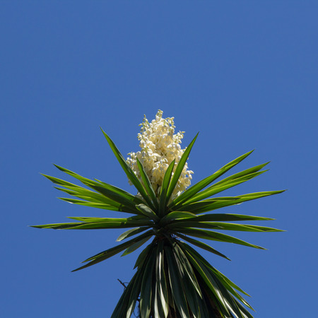 yucca: flowering Yucca plant against blue sky background