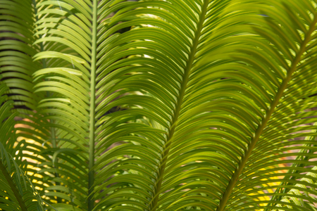 cycas: cycas plant natural floral abstract background Stock Photo