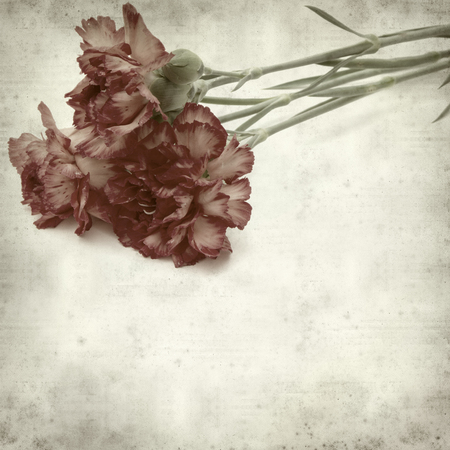 variegated: textured old paper background with variegated carnation flower Stock Photo