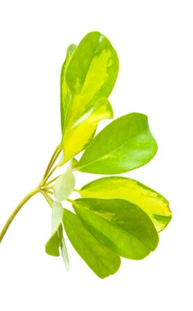 variegated: variegated leaf of Schefflera arboricola,  Dwarf Umbrella Tree