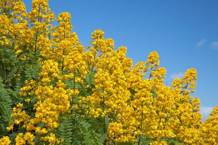 plentifully: Cassia didymobotrya, Popcorn Cassia, Peanut Butter Senna