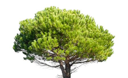 Stone Pine, Pinus Pinea, hele jonge boom geïsoleerd op wit Stockfoto