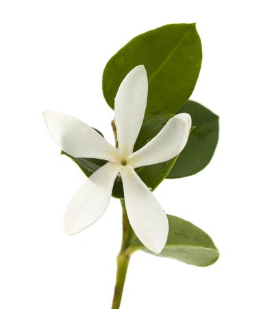 natal: white flower of Carissa macrocarpa, Natal Plum, isolated on white background