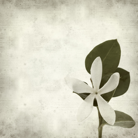 natal: textured old paper background with white Natal Plum flower