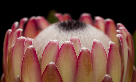 protea flower: Pink protea flower isolated on black background