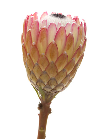 protea flower: Pink protea flower isolated on white background