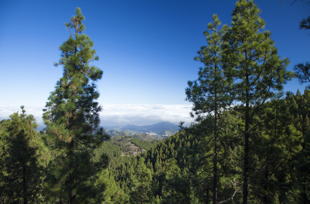 blanketed: Inland Central Gran Canaria, Las Cumbres, highest areas of the islands, view over treetops towards Panza de Burro, Donkey Belly, cloud cover almost always present at the north of the Canary Islands Stock Photo