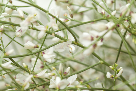 endemic: Retama rhodorhizoides, bridal veil broom, endemic to Canary Islands, natural floral background