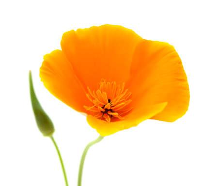 californian: Californian poppy, Eschscholzia Californica, isolated on white