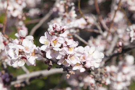 abundant: abundant flowering of almond trees natural floral background