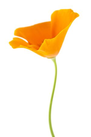 californian: Californian poppy, Eschscholzia Californica, isolated on white