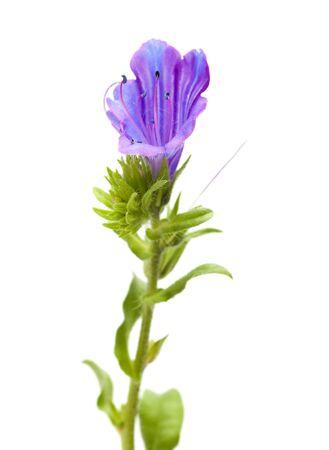 echium: Flora of Canary Islands - Echium bonnetii isolated on white