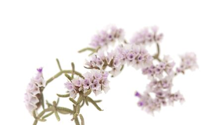 papery: small papery flowers of Limonium papillatum isolated on white Stock Photo