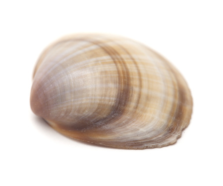 Stripy brown Clam shell isolated on white background