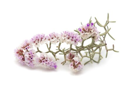 papery: small dry papery flowers of Limonium papillatum isolated on white Stock Photo