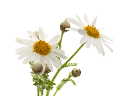argyranthemum: canarian marguerite daisy flowers isolated on white background Stock Photo
