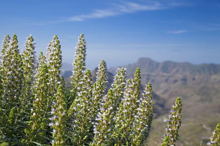 echium: Flora of Gran Canaria - light purple flowers of Echium  Caldera de Tejeda in the Background Stock Photo