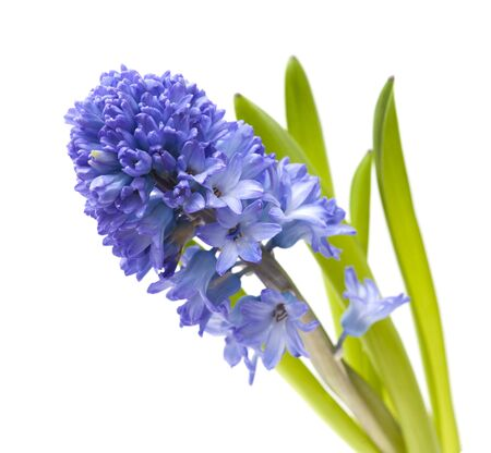 single open blue hyacinth flower  isolated on white background