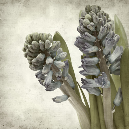 hyacinthus: textured old paper background with blue Hyacinthus flowers Stock Photo