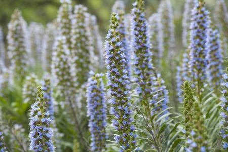 vulnerable: Flora of Gran Canaria - Echium callithyrsum, Blue bugloss of Gran Canaria, endemic and vulnerable specia, flowers around  Tenteniguada, Valsequillo municipality