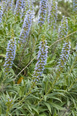 echium: Flora of Gran Canaria - Echium callithyrsum, Blue bugloss of Gran Canaria, endemic and vulnerable specia, flowers around  Tenteniguada, Valsequillo municipality