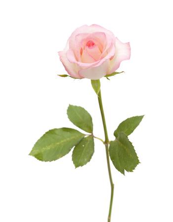 zacht roze roos op een witte achtergrond