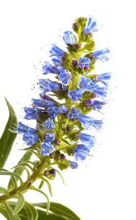 echium: Flora of Gran Canaria - Echium callithyrsum, Blue bugloss of Gran Canaria, inflorescence isolated on white