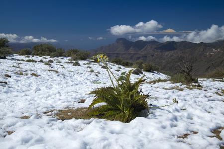 unusually: Gran Canaria, Caldera de Tejeda in February 2016, two days after unusually heavy snowfall, Sonchus plant in the show
