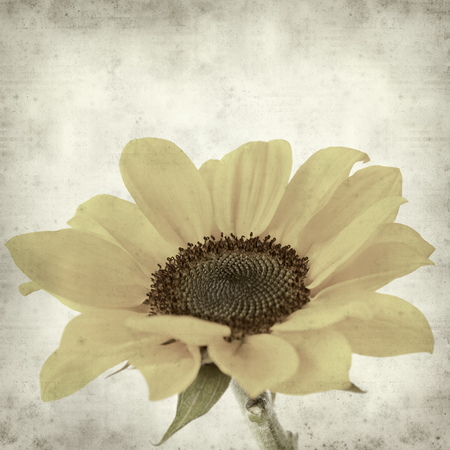 textured paper: textured old paper background with yellow sunflower Stock Photo