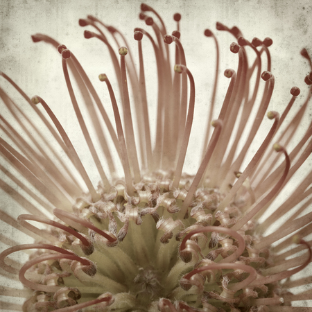 protea flower: textured old paper background with exotic protea flower