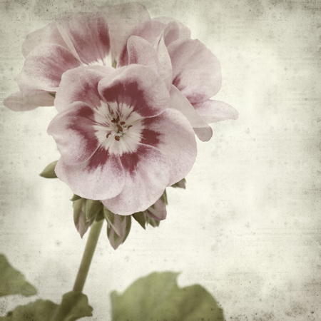 textured paper: textured old paper background with pink geranium Stock Photo