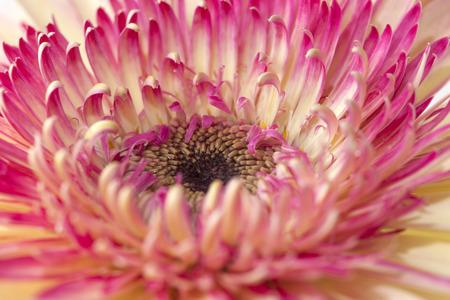 herbera: white and magenta gerbera natural floral background