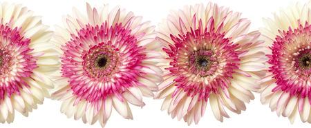 herbera: seamless repeatable photographic floral border of white and magenta gerbera