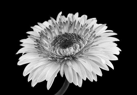 herbera: gerbera flower in black nd white isolated on black background