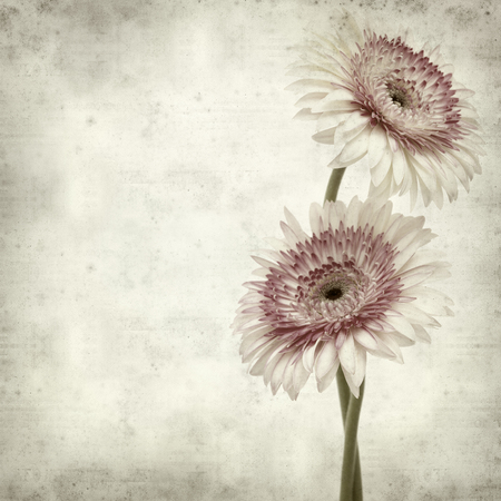 white textured paper: textured old paper background with white and pink gerbera Stock Photo