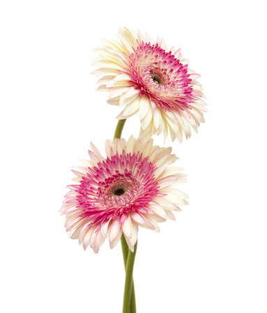 herbera: white and magenta gerbera flowers isolated on white background