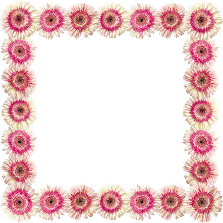 herbera: photographic floral square frame of white and magenta gerbera