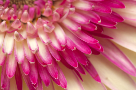 white and magenta gerbera natural floral background
