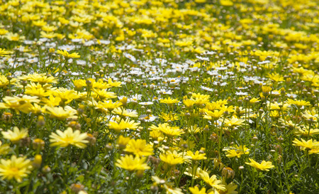argyranthemum: floral background of marguerite daisy, sunny day Stock Photo