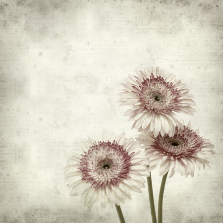 textured old paper background with white and pink gerbera Stock Photo