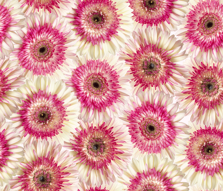 herbera: seamless repeatable photographic floral background of white and magenta gerbera Stock Photo